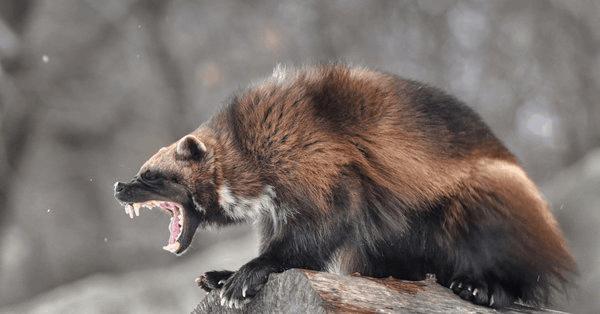 Росомаха – маленький, но свирепый медведь